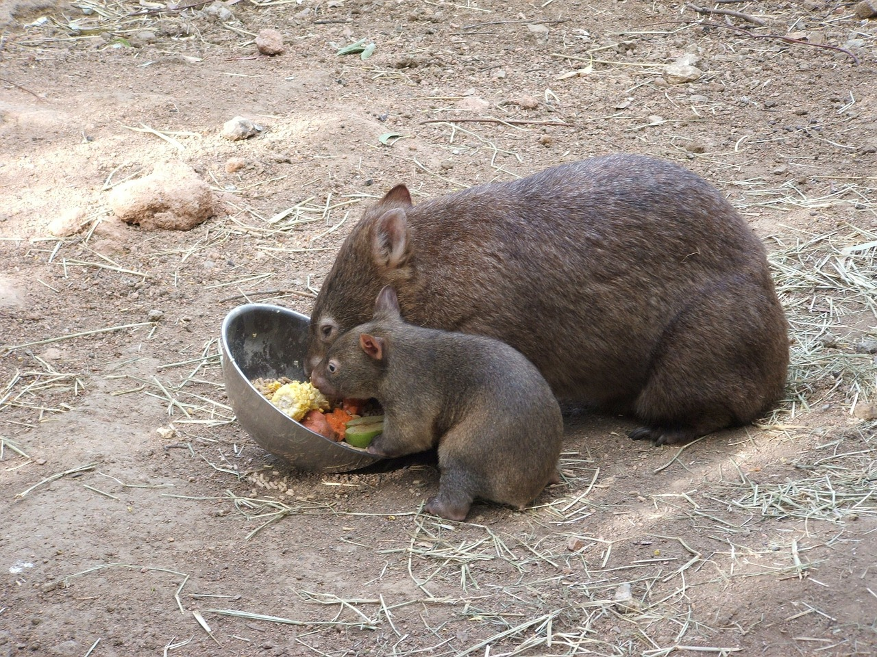 Wombat mother and baby
